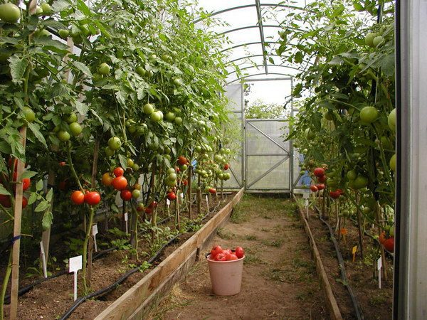 polivat_pomidory_v_teplice