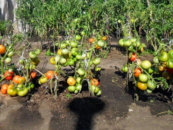 pomidory2Bv2Botkrytom2Bgrunte