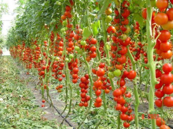 pravilnyy-uhod-za-pomidorami