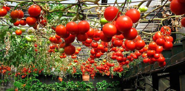 pri-kakoj-temperature-rastut-pomidory2