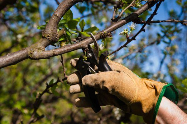pruning-apricot-spring