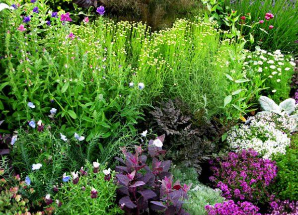 pryanye-i-lekarstvennye-travy-v-cvetnike
