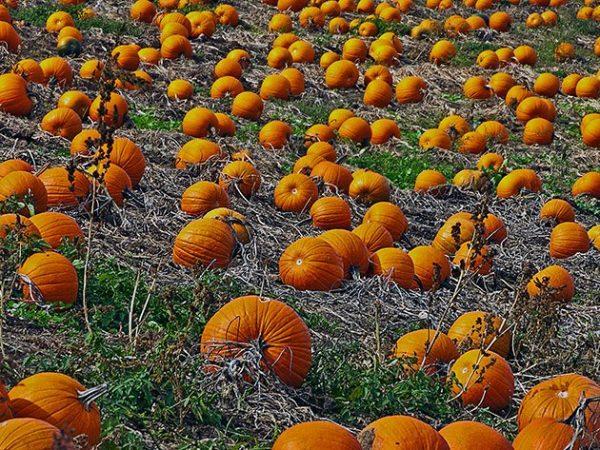 pumpkin3a