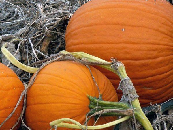 pumpkin4c