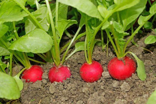 radishesingarden-1