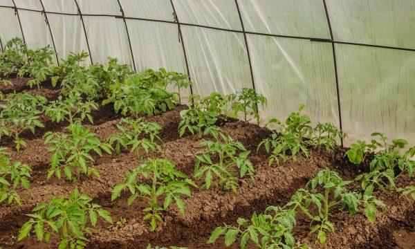rassada-pomidor-v-teplitse