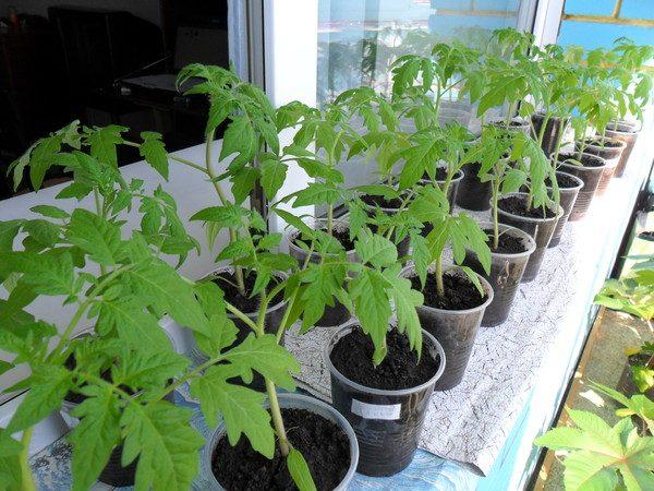 rassada-pomidorov-7