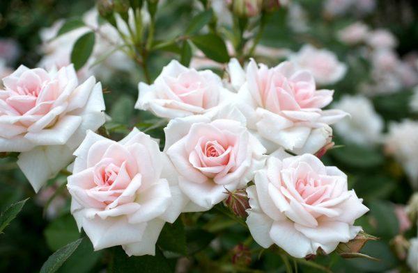 roses-flowers-garden-sharpness-tenderness-647897