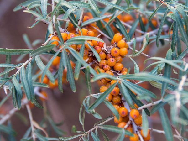 sea_buckthorn1