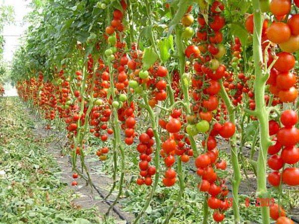 shtambovye-tomaty-vyrashhivaniem-ne-teryaya-preimushhestv