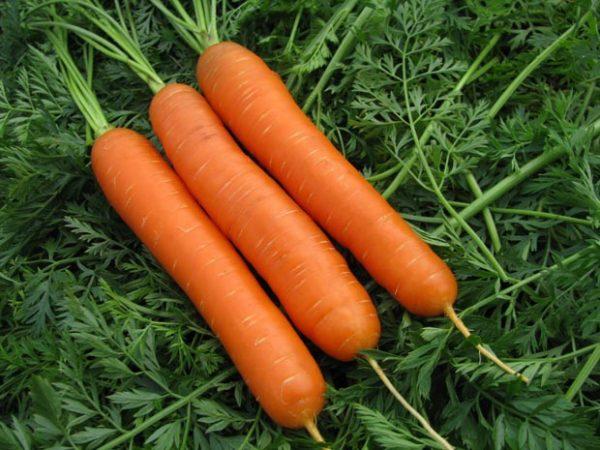 urozhaj-morkovi-foto