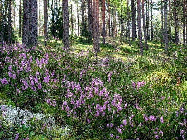 versek-v-sosnovom-lesu