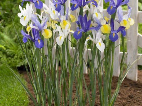 vneshnii-vid-gollandskih-irisov