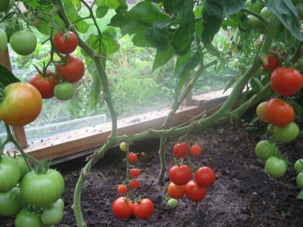 vyraschivaem-pomidory-na-okne-sami