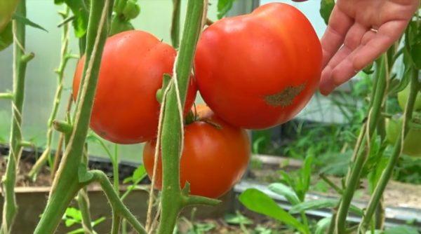vyraschivanie-tomatov-po-kitaiskoi-tehnologii-v-chem-sut-osobenn