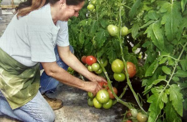 vyraschivanie-tomatov-tomaty-v-ukrytijah