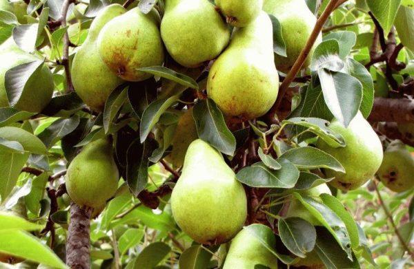 09-15-2011-pear-tree-61-752x490