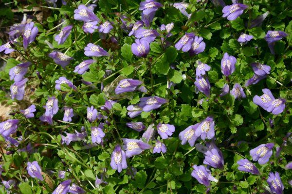 29874965_w640_h640_mazus_flowers_closeup_8501
