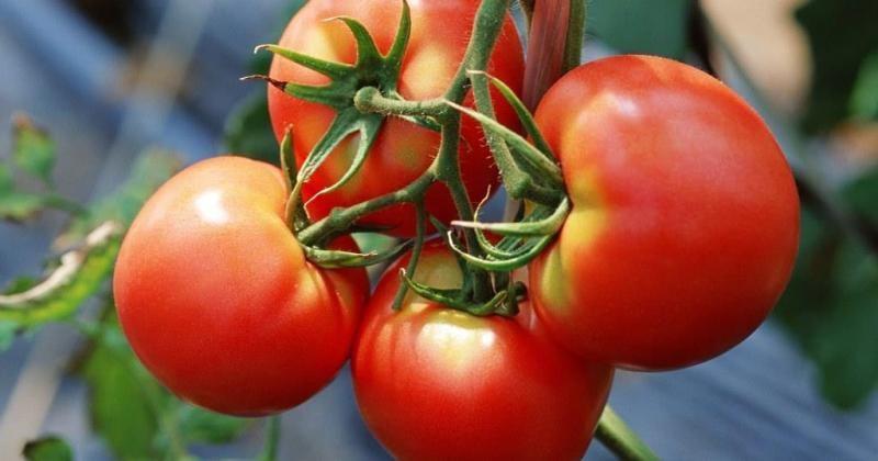 Картинки по запросу Полив помидоров для быстрого образования завязей: проверенные народные средства