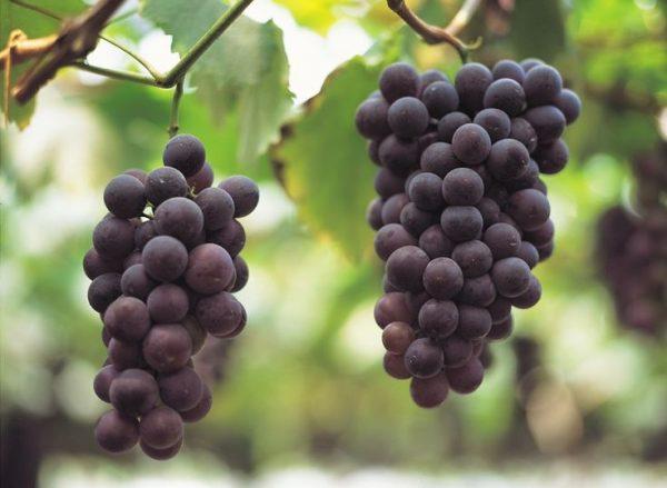 6aa730da75ceee20a8435f00bc9cdbbf-growing-grapes-garden-plants
