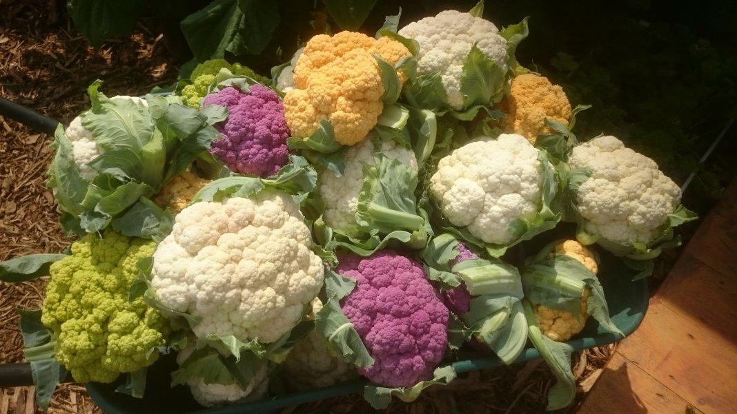 Картинки по запросу Цветная капуста: что нужно для хорошего урожая