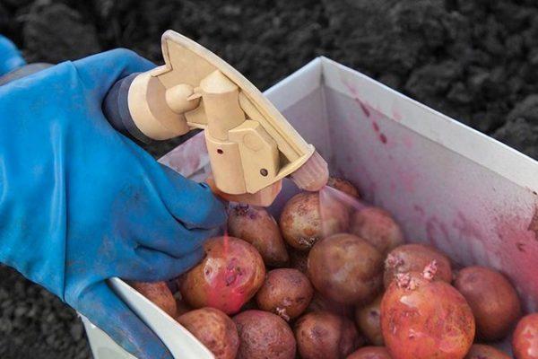 Chem-obrabotat-kartofel-pered-prorashhivaniem-na-posadku-3