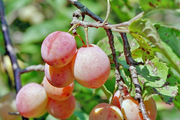 Delicious-Pictures-of-Plum-Fruit-Tree-8