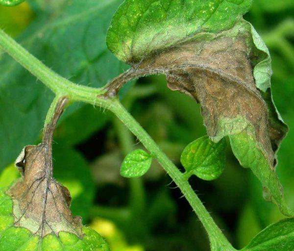 Fitoftora-na-pomidorah-11