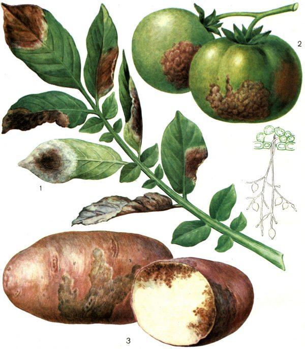 Fitoftoroz-kartofelya