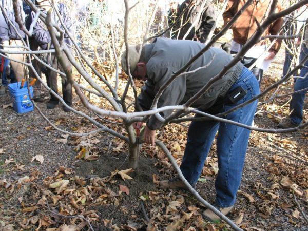 Fruit-tree-pruning1