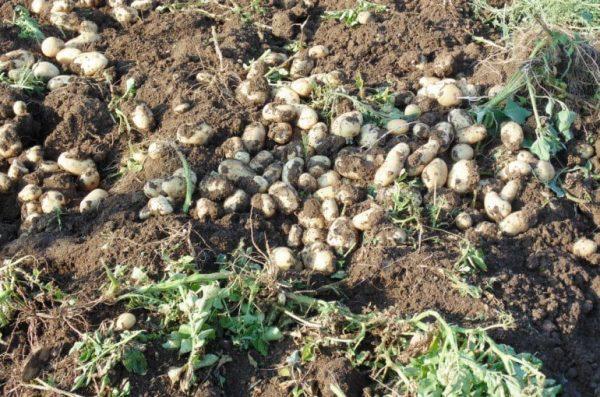 Harvesting-potatoes-f