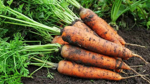 Kak-posadit-morkov-semenami-v-grunt-Sorta-morkovi-dlya-posadki