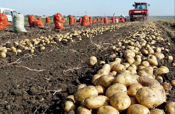 Kartofel-v-pole-Semejkin-Terra-03