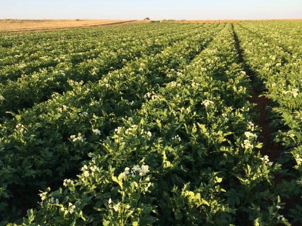 Kartofelnoe-pole