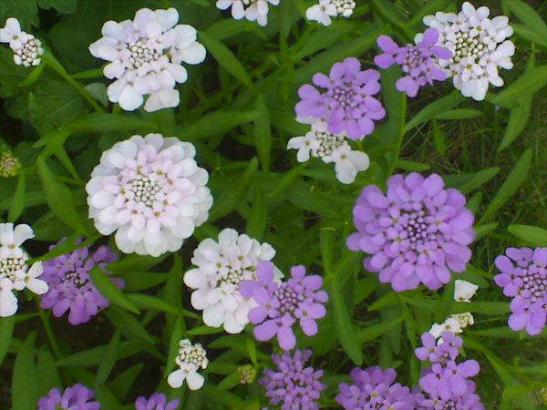 Nature___Flowers_Iberis_beautiful_flowers_in_the_flowerbed_in_the_garden_066811_