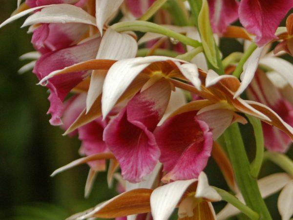 Orchidaceae_-_Phaius_tancarvilleae-1