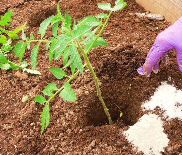 Podkormka-tomatov-superfosfatom-37