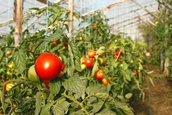 Pomidoryi-v-teplitse-1