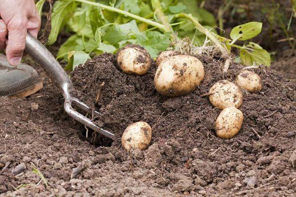 Potato-harvest-big