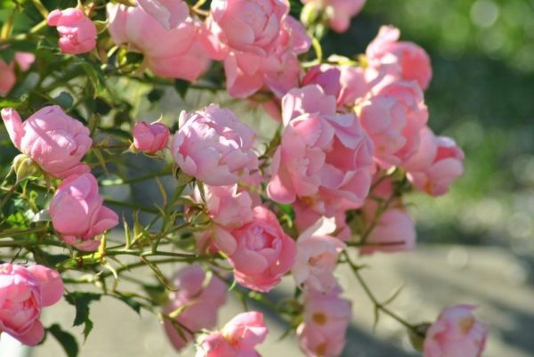 Rosa_Sommerwind_6