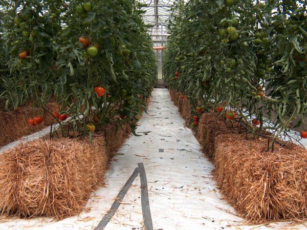 Tomaty-na-sene
