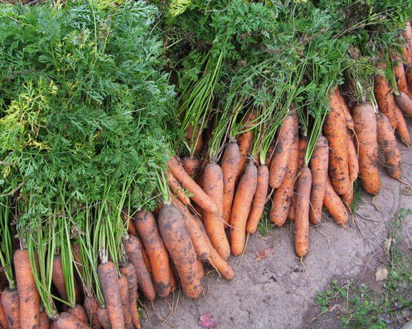 Uborka-urozhaja-morkovi