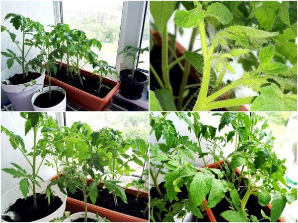 Vyrashhivaem-komnatnye-pomidory-pravilno-1