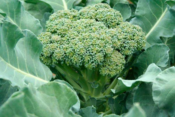 brokkoli2_1