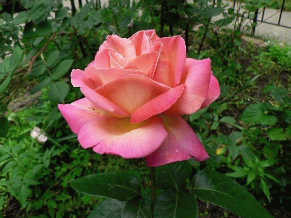 chaynaya-roza