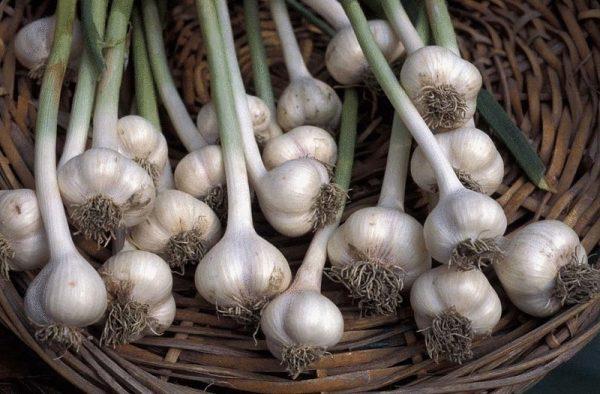 content_garlic_allium_sativum_dp357