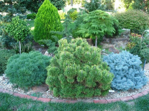 content_small-conifers-for-small-areas