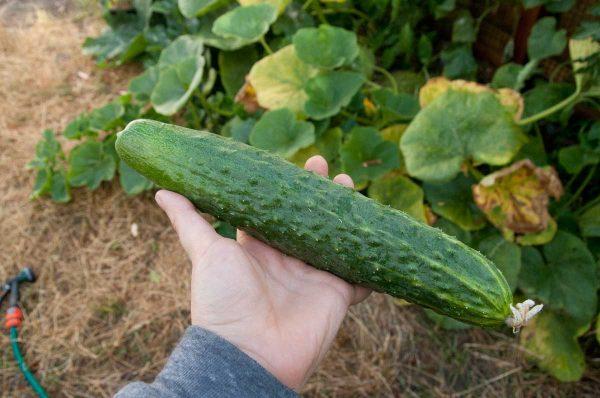 cucumber-10