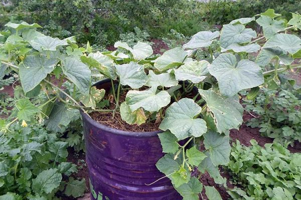 cucumber-barrel