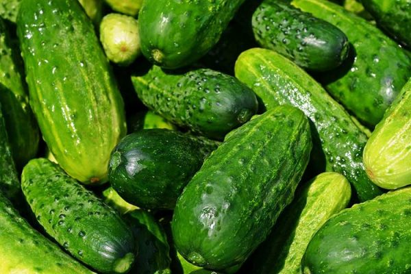 cucumbers-growing-big
